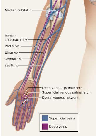 Diagram Of Arm Vessel by Diagram Of Arm Vessels Wiring Diagrams List