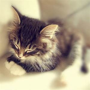Little Kitty Sleeping - Kitten - Norwegian Forest Cat ...