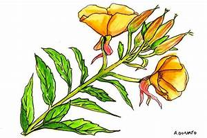 Derived from the plant Oenothera biennis, evening primrose oil is used for rheumatoid arthritis ...  Rheumatoid Arthritis Evening Primrose