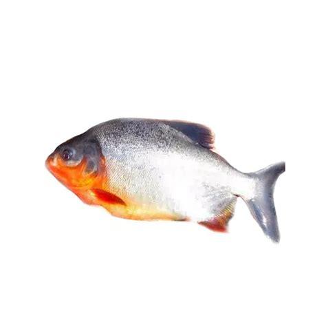 Benih Ikan Bawal Blitar jual produk benih ikan bawal sikumis
