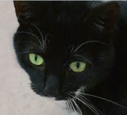 black cats with green black cat green breed cats types