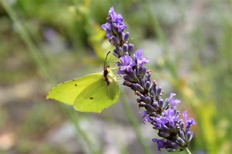 Garten Pflanzen Schmetterlinge by Schmetterlinge Im Garten Schmetterlinge Im Garten