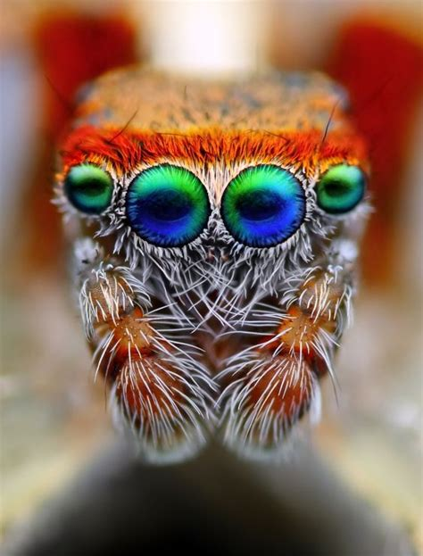 jumping spider photo tomas rak macro photography