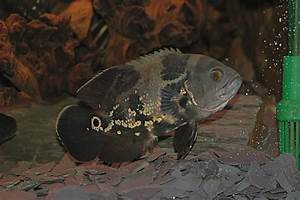 The Ultimate Oscar Fish Care Guide (Diet, Tank Conditions ...