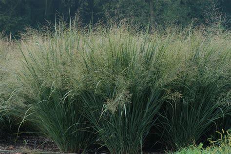 Switchgrass Panicum Virgatum Auntie Dogmas Garden Spot