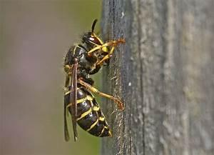 Stehen Wespen Unter Naturschutz : stehen wespen unter naturschutz wespen entfernen alle infos ber wespenentfernung insekten ein ~ Whattoseeinmadrid.com Haus und Dekorationen