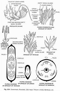 12 Brinjal Drawing Floral Diagram For Free Download On