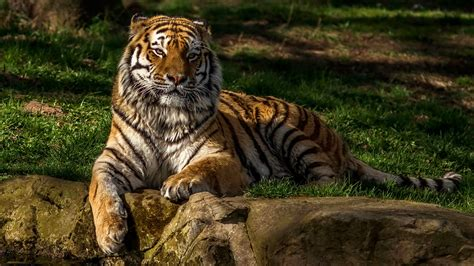Animal Wallpaper 1920x1080 - wallpapers tigers animals 1920x1080