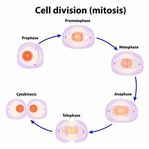 Diagram Mitosis Cell Division