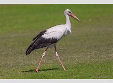 National Bird Of Germany White Stork 123Countriescom
