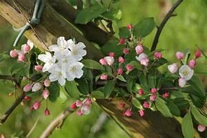 Blumen In Der Box : fr hling blumen rosa bl ten und knospen an dem apfelbaum die bleich im garten in der sonne ~ Orissabook.com Haus und Dekorationen