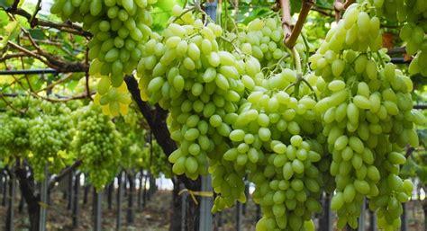 prezzo uva da tavola uva da tavola prezzi fisiologico calo per aumento delle