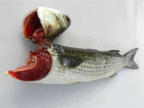 gibbing  bleeding fish