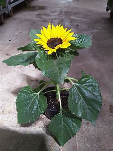 Sonnenblume Im Topf : sonnenblume steckbrief und richtig pflegen edinger m rkte ~ Orissabook.com Haus und Dekorationen