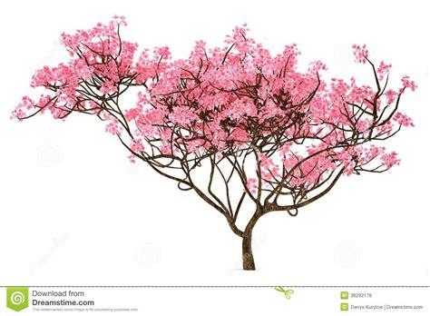Sakura Tree Isolated Royalty Free Stock Image Image