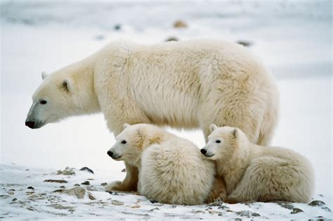 Polar Bear Facts Movie Search Engine At Searchcom