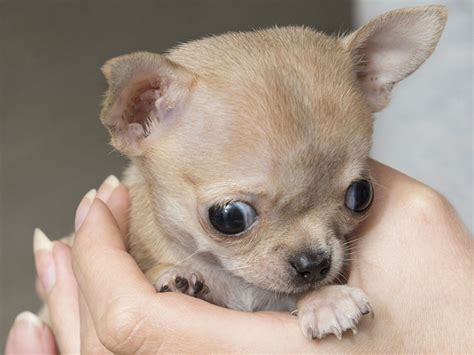 Baby Chihuahua Photos | Full HD Pictures