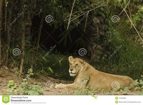 Lioness Resting Outside Her Cave Stock Photo