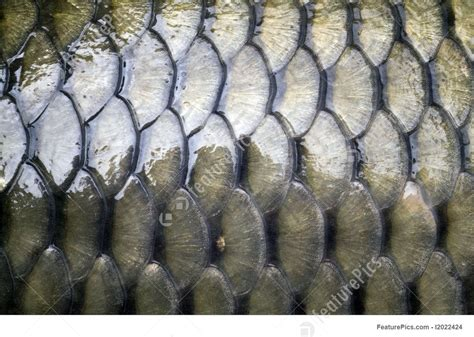big carp scales image