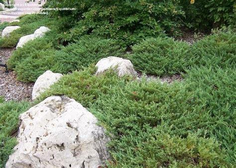 Plantfiles Pictures Creeping Juniper Trailing Juniper