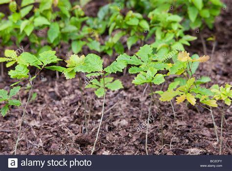 Garden To Grow Going Green Mill by Oak Sapling Stock Photos Oak Sapling Stock Images Alamy