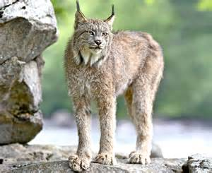lynx cat lynx is evidence that big cat did roam britain but it s