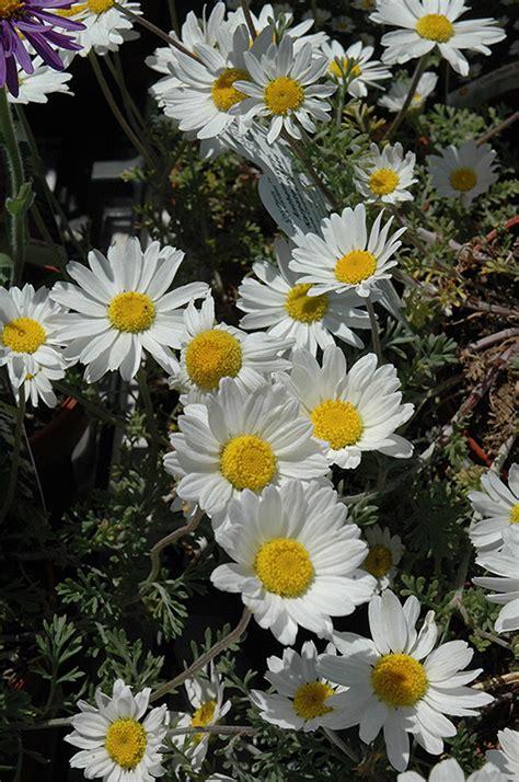 snow carpet marguerite daisy anthemis snow carpet