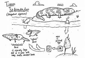 Salamander Diagram