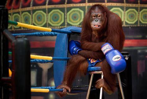 Kickboxing Orangutans In Thailand  Damn Cool Pictures