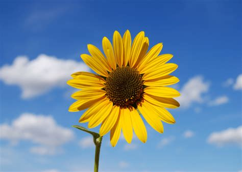 sunflower wallpapers images  pictures backgrounds