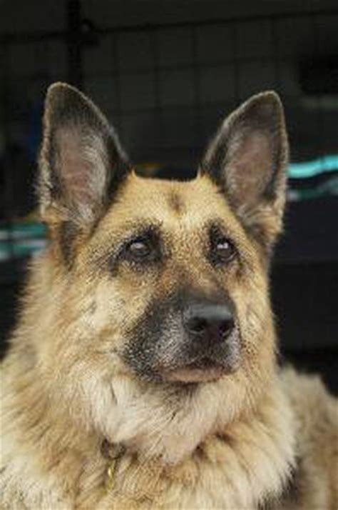 adopt retired police dogs pets