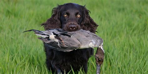 do boykin spaniel dogs shed boykin spaniel information facts and pictures