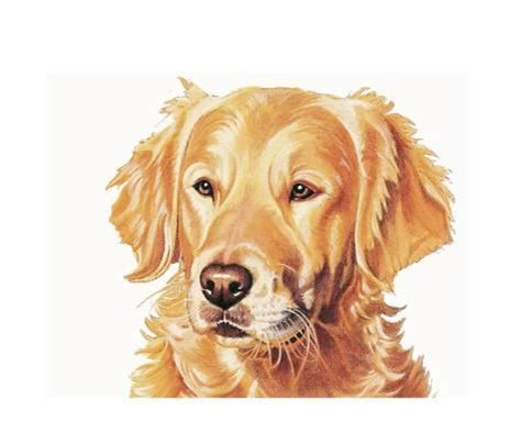 Small Non Shedding Dogs Uk by Golden Retriever Giclee Print Dog Breeds Picture