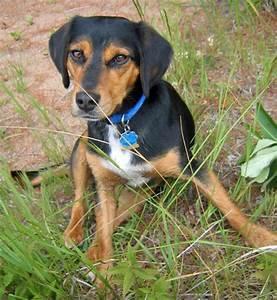 Coonhound Beagle Mix
