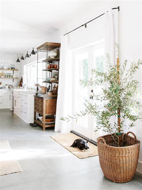 plant   indoor olive tree thou swell