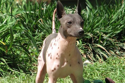 american hairless terrier breed information american