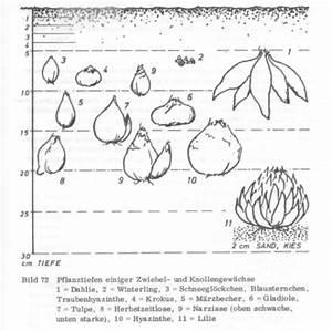 Aufbau Der Zwiebel : blumenzwiebel ~ Lizthompson.info Haus und Dekorationen