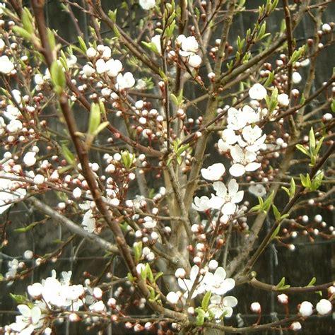 miniature flowering cherry tree prunus cerasifera hessei buy dwarf flowering cherry plum tree