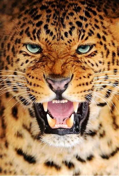 Leopard Amur Animals Panthera Pardus Facts Az