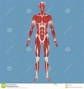 Human Muscular System Illustration