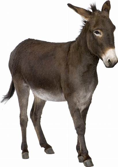 Donkey Transparent Background Ass Wild African Pngimg