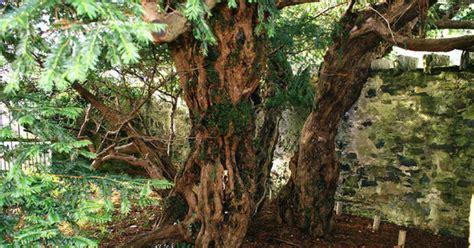 영국에서 가장 오래된 나무가 자신의 성sex을 바꿨다