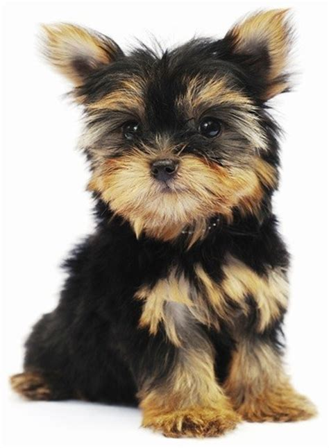 Dogs That Dont Shed Hair by Top 30 Dogs That Don T Shed Small Medium And Large