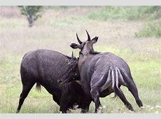 Nilgai Antelope Safari Big Time Texas Hunts TPWD