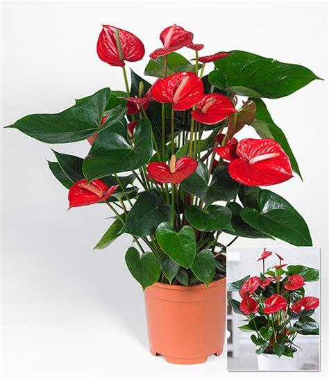 zimmerpflanze mit roten blüten flamingoblume rot 1a zimmerpflanzen kaufen baldur garten