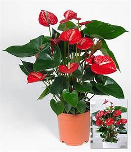 Zimmerpflanze Mit Roten Blättern : flamingoblume 39 rot 39 1a zimmerpflanzen online kaufen baldur garten ~ Eleganceandgraceweddings.com Haus und Dekorationen