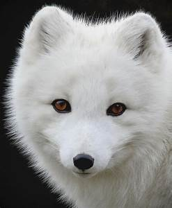Arctic Fox Portrait Ii Photograph By Athena Mckinzie