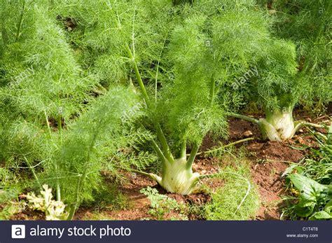 Fennel Foeniculum Vulgare Apiaceae Herb Vegetable
