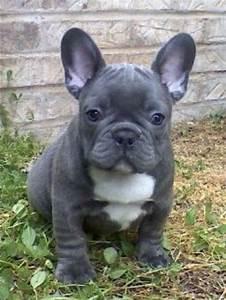 Blue French Bulldog Puppy | Animals | Pinterest | Blue ...