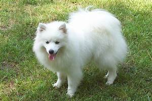 American Eskimo Dog Breed Information With Pictures | Pets ...
